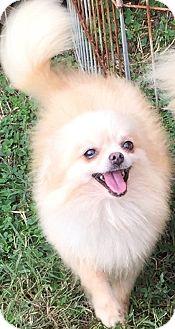 Pomeranian Dog for adoption in Kansas City, Missouri - Anna