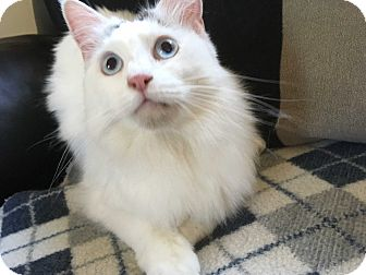 Snowshoe Cat for adoption in Tracy, California - Sabrina-ADOPTED!