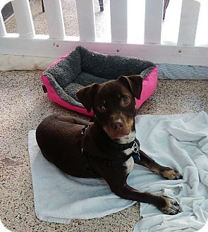 Dachshund/Miniature Pinscher Mix Puppy for adoption in Thousand Oaks, California - Sinbad