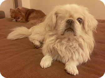 Pekingese Mix Dog for adoption in Las Vegas, Nevada - Wonton