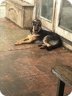 German Shepherd Dog Puppy for adoption in Van Nuys, California - Bentley