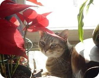 Domestic Shorthair Cat for adoption in Bear, Delaware - Josie