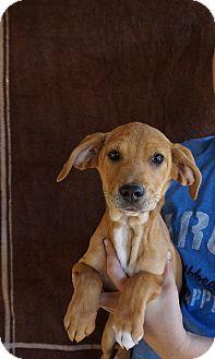 Labrador Retriever/Golden Retriever Mix Puppy for adoption in Oviedo, Florida - Adison