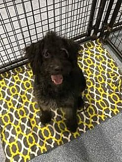 Standard Poodle/Schnauzer (Standard) Mix Dog for adoption in Raleigh, North Carolina - Baxter