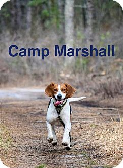 Beagle Mix Dog for adoption in Mount Laurel, New Jersey - Marshall