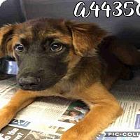 Adopt A Pet :: CICI - San Antonio, TX