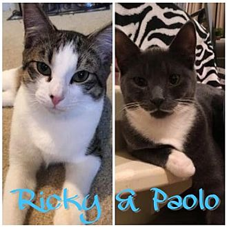 Domestic Shorthair Cat for adoption in Phillipsburg, New Jersey - Ricky & Paolo