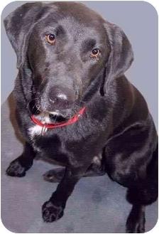 Labrador Retriever Mix Dog for adoption in Grass Valley, California - Lady
