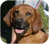 Basset Hound/Dachshund Mix Dog for adoption in Proctorville, Ohio, Ohio - Sophia