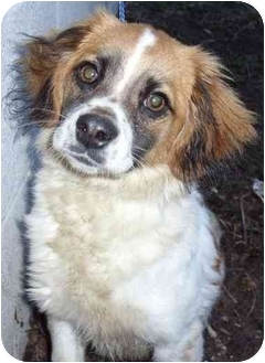 Collie/Terrier (Unknown Type, Small) Mix Puppy for adoption in Elwood, Illinois - Joanie