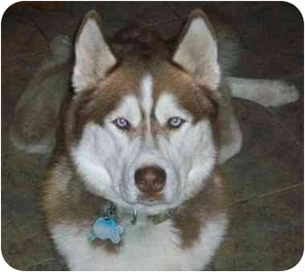 Siberian Husky Dog for adoption in Horsham, Pennsylvania - DIAGO