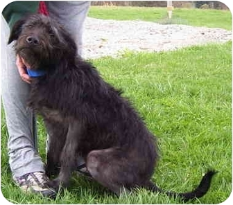 Labradoodle/Terrier (Unknown Type, Medium) Mix Puppy for adoption in Somerset, Pennsylvania - Bella