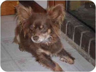 Chihuahua/Papillon Mix Dog for adoption in Muldrow, Oklahoma - Lila