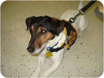 Jack Russell Terrier Dog for adoption in Omaha, Nebraska - Rexx