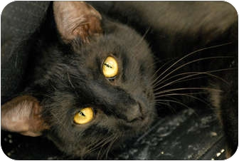 Domestic Shorthair Cat for adoption in Garland, Texas - Lodi