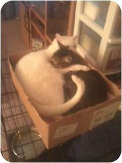 American Shorthair Cat for adoption in Little Rock, Arkansas - Zip