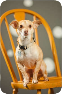 Chihuahua Mix Dog for adoption in Portland, Oregon - Nimo