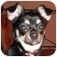Photo 1 - Chihuahua Puppy for adoption in Rigaud, Quebec - Quita