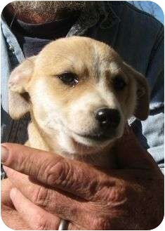 Chihuahua Mix Puppy for adoption in Plainfield, Connecticut - Pete
