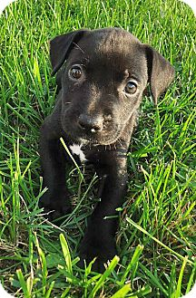 American Pit Bull Terrier Mix Puppy for adoption in Howell, Michigan - Dixie