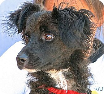 Rat Terrier Mix Puppy for adoption in Berkeley, California - Chile