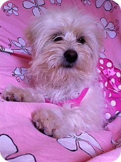 Maltese/Poodle (Miniature) Mix Puppy for adoption in Irvine, California - Gorgeous SASHA