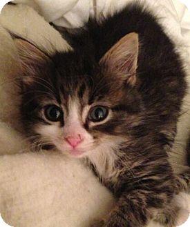 Domestic Mediumhair Kitten for adoption in Reston, Virginia - Ty