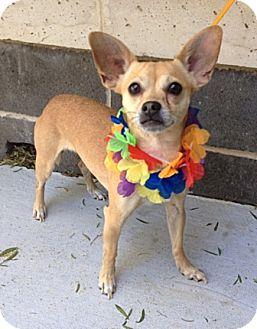 Chihuahua Mix Dog for adoption in Dublin, California - Birdie