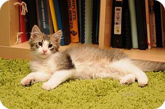 Domestic Mediumhair Kitten for adoption in Maple Ridge, British Columbia - Natasha