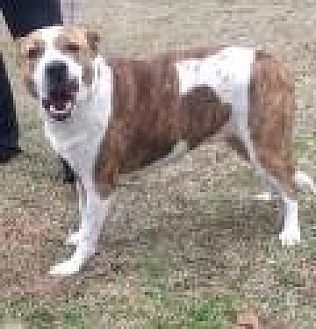 Pit Bull Terrier/Labrador Retriever Mix Dog for adoption in Mount Pleasant, South Carolina - Bella