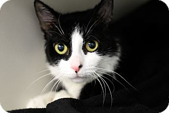 Domestic Shorthair Cat for adoption in Chicago, Illinois - Sweetie Poo