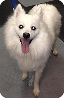 American Eskimo Dog Dog for adoption in Adrian, Michigan - Blizzard