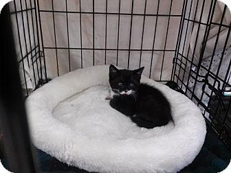 Domestic Shorthair Kitten for adoption in Alamo, California - Ranger