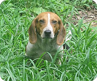 Beagle Dog for adoption in Foster, Rhode Island - Buckshot