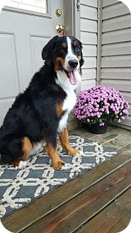 Bernese Mountain Dog Dog for adoption in Mount Gilead, Ohio - Sammy (S'mores)