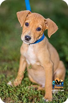 Beagle Mix Puppy for adoption in Evansville, Indiana - Lance