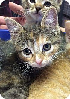 Domestic Shorthair Kitten for adoption in Bonner Springs, Kansas - Kelly
