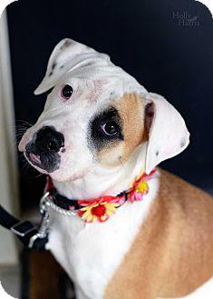 Boxer/Terrier (Unknown Type, Medium) Mix Dog for adoption in Baton Rouge, Louisiana - Bouree