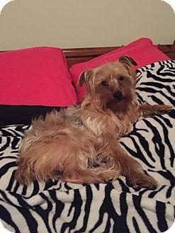 Yorkie, Yorkshire Terrier Dog for adoption in Arden, North Carolina - Taco