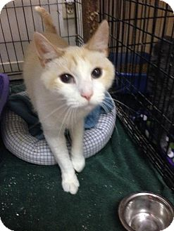 Domestic Shorthair Cat for adoption in Columbus, Ohio - O'Malley
