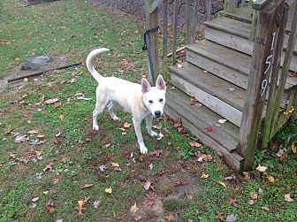 Husky Mix Dog for adoption in Staunton, Virginia - Abraham