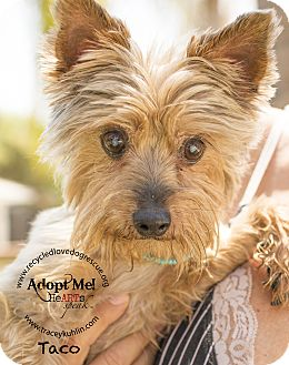 Yorkie, Yorkshire Terrier Dog for adoption in Inland Empire, California - * TACO *