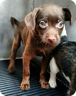Chihuahua Mix Puppy for adoption in New York, New York - Nicky
