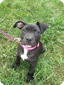 Pit Bull Terrier Puppy for adoption in Framingham, Massachusetts - Maddie