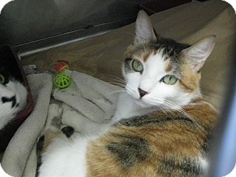 Calico Cat for adoption in Upland, California - Lola