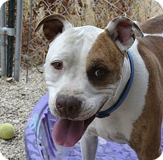 Pit Bull Terrier Mix Dog for adoption in Meridian, Idaho - Romeo