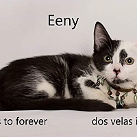 Domestic Shorthair Cat for adoption in Arcadia, California - Eeny