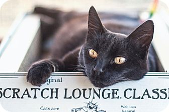 Domestic Shorthair Cat for adoption in St Helena, California - Midnight