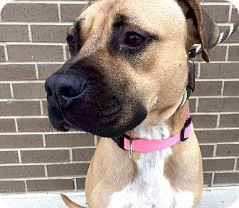 Boxer/American Pit Bull Terrier Mix Dog for adoption in Warner Robins, Georgia - Tasha
