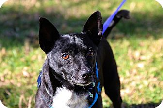 Chihuahua/Dachshund Mix Dog for adoption in Fountain Valley, California - Taylor